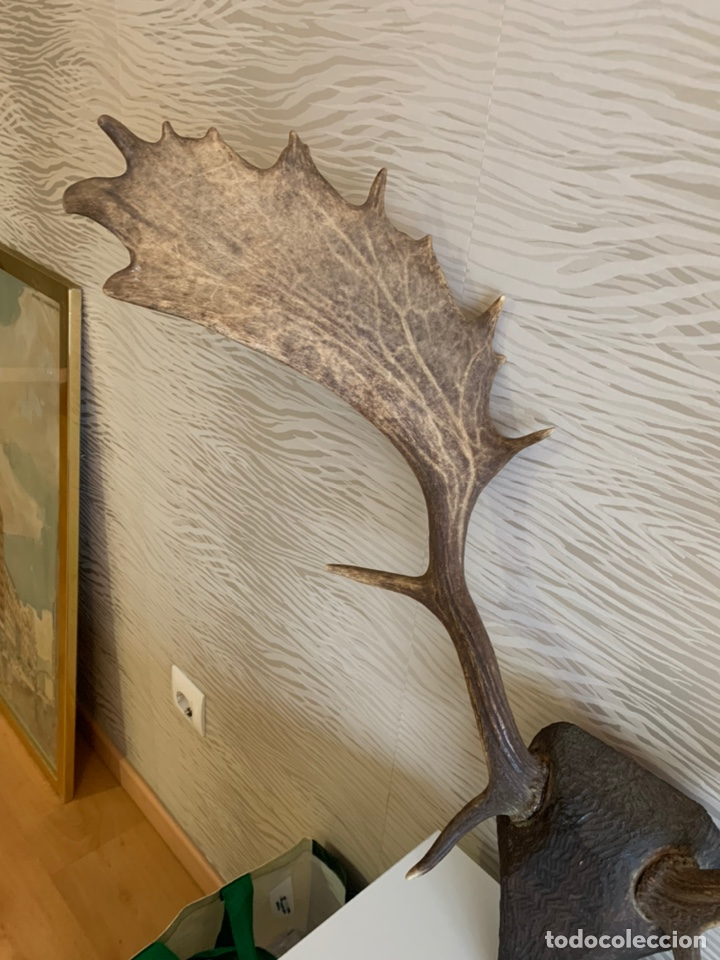 Antigüedades: Gran Cornamenta. Gamo. 56 cm asta - Foto 2 - 238543260