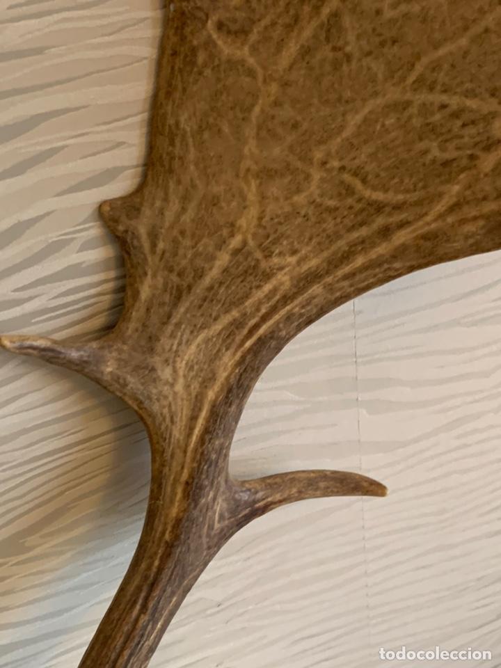 Antigüedades: Gran Cornamenta. Gamo. 56 cm asta - Foto 5 - 238543260