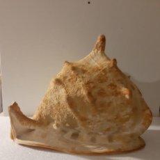 Antigüedades: CARACOLA GIGANTE CASSIS CORNUTA. Lote 107551411