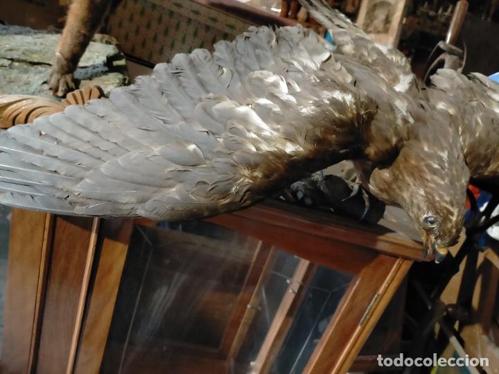Antigüedades: Antigua aguila o halcón disecada taxidermia - Foto 2 - 241813335