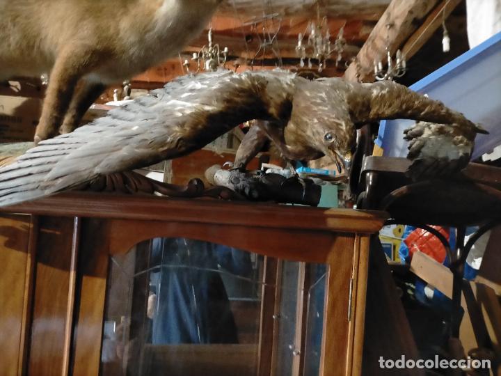 Antigüedades: Antigua aguila o halcón disecada taxidermia - Foto 3 - 241813335