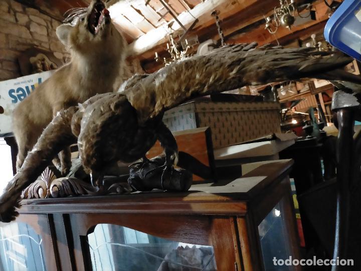 Antigüedades: Antigua aguila o halcón disecada taxidermia - Foto 4 - 241813335