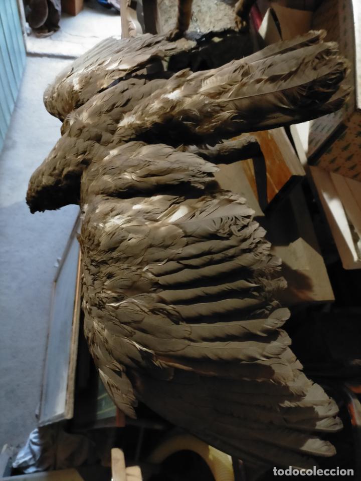 Antigüedades: Antigua aguila o halcón disecada taxidermia - Foto 5 - 241813335