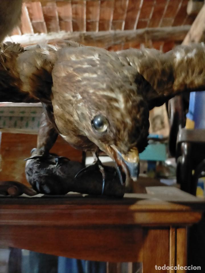 Antigüedades: Antigua aguila o halcón disecada taxidermia - Foto 6 - 241813335