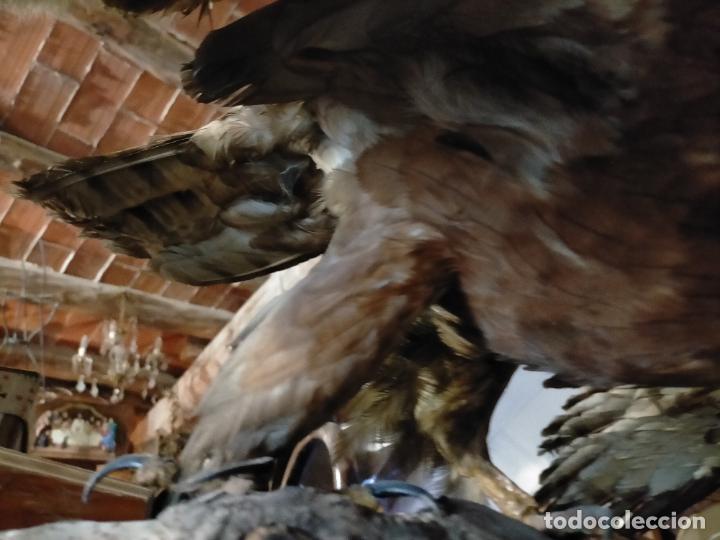 Antigüedades: Antigua aguila o halcón disecada taxidermia - Foto 7 - 241813335