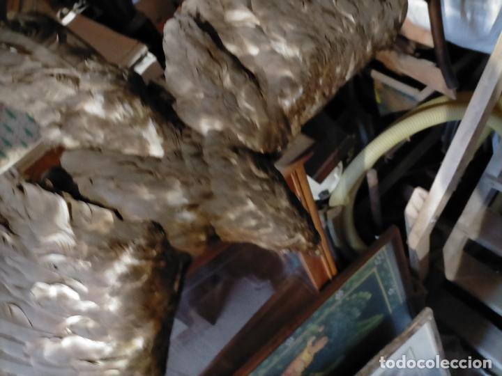 Antigüedades: Antigua aguila o halcón disecada taxidermia - Foto 8 - 241813335