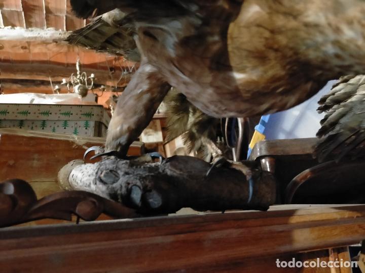 Antigüedades: Antigua aguila o halcón disecada taxidermia - Foto 9 - 241813335