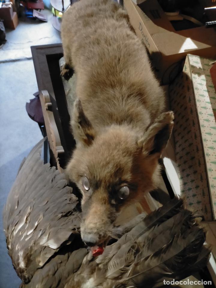 Antigüedades: Antiguo zorro disecado taxidermia - Foto 6 - 241813595