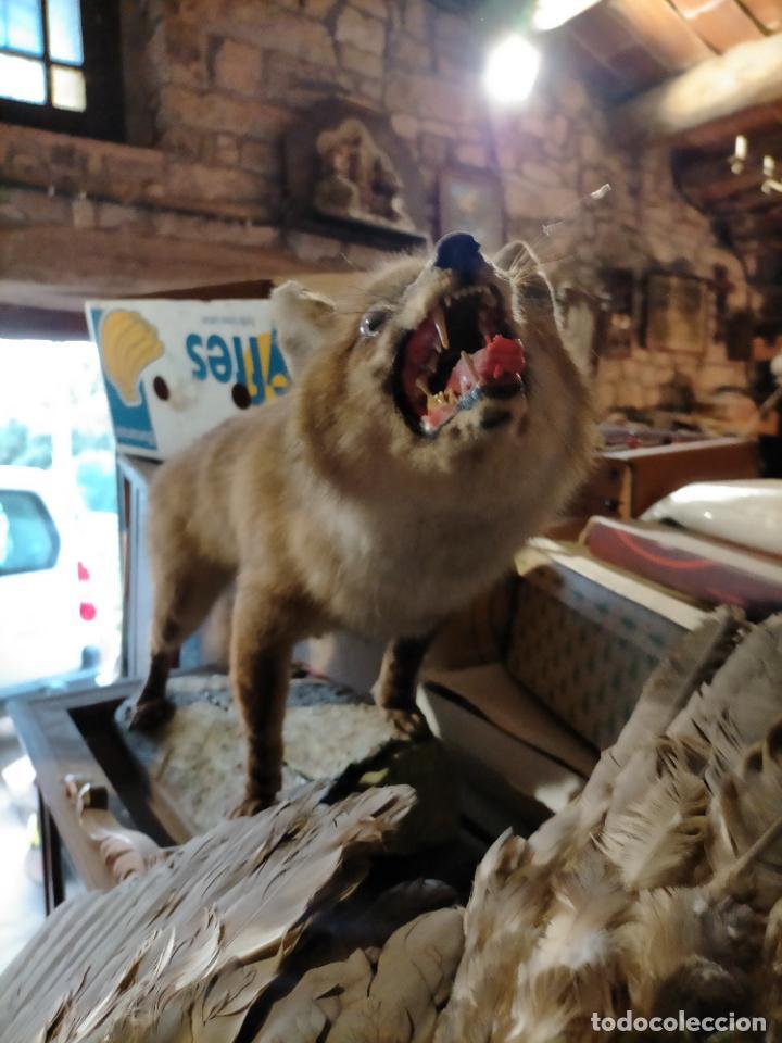 Antigüedades: Antiguo zorro disecado taxidermia - Foto 8 - 241813595