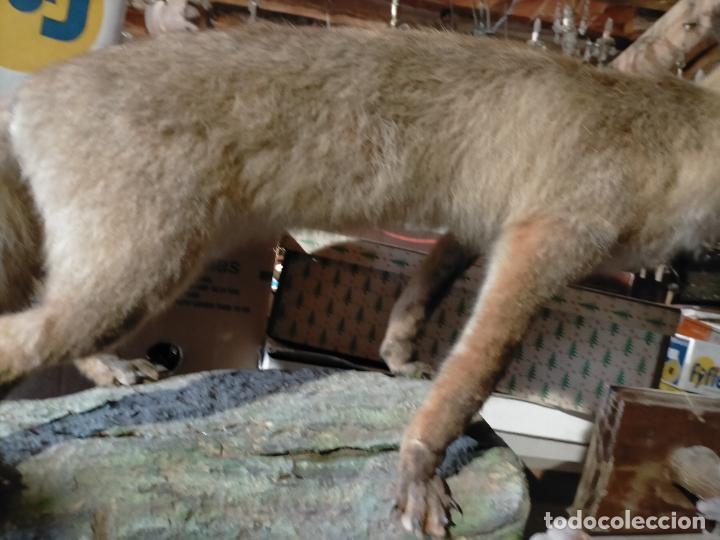 Antigüedades: Antiguo zorro disecado taxidermia - Foto 9 - 241813595