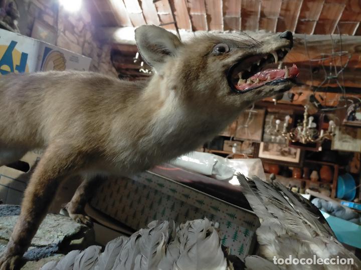 Antigüedades: Antiguo zorro disecado taxidermia - Foto 11 - 241813595