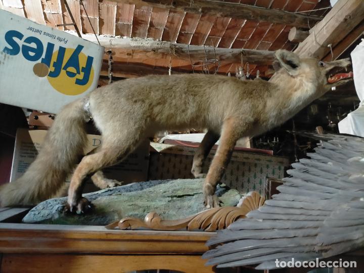 Antigüedades: Antiguo zorro disecado taxidermia - Foto 7 - 241813595