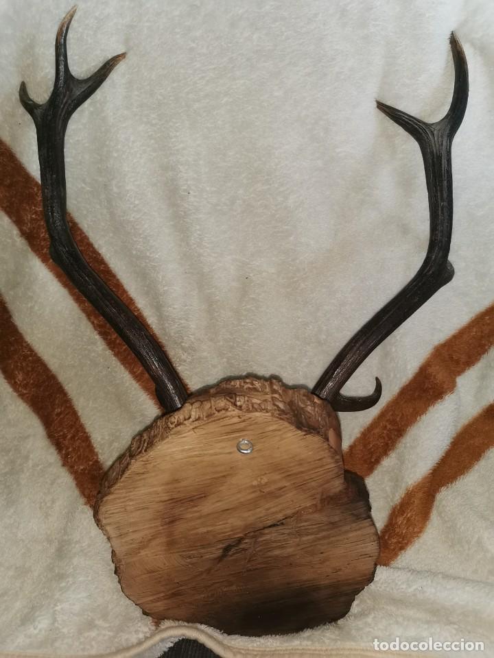 Antigüedades: Testa de ciervo antigua. 10 puntas - Foto 5 - 242288665