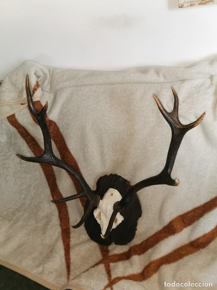 Antigüedades: Testa de ciervo antigua. 10 puntas - Foto 8 - 242288665