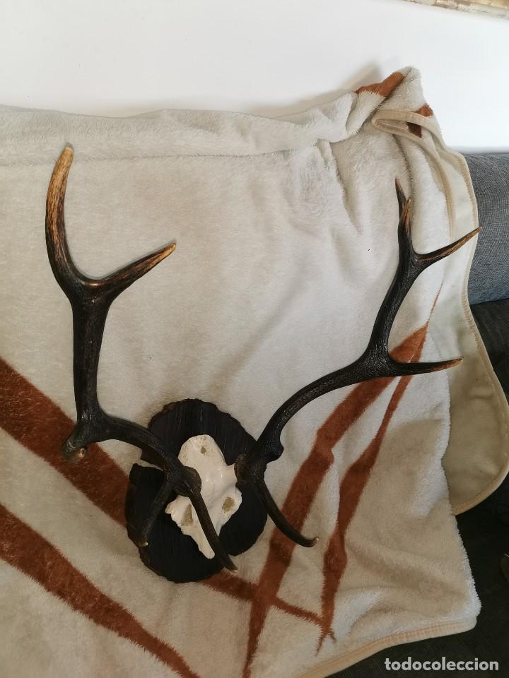 Antigüedades: Testa de ciervo antigua. 10 puntas - Foto 9 - 242288665