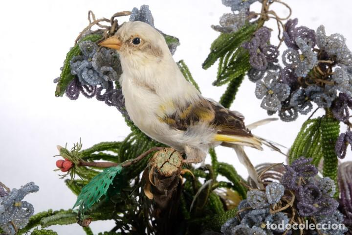 Antigüedades: Conjunto Pájaros disecados taxidermia siglo XIX - Foto 4 - 243865560
