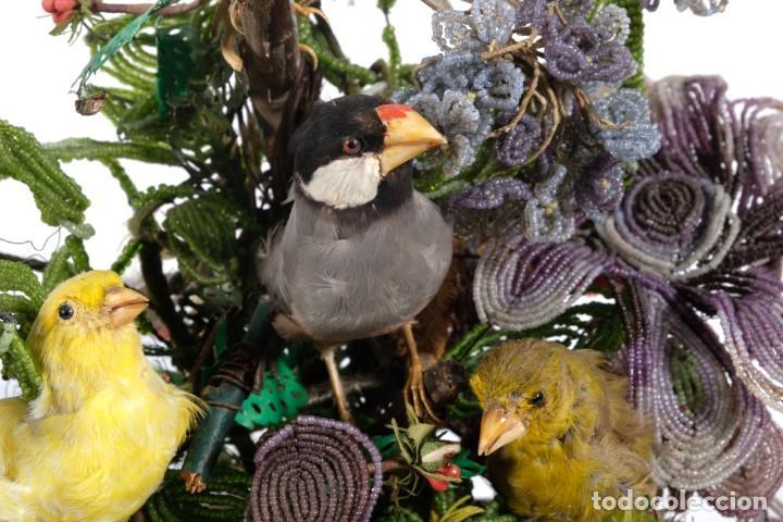 Antigüedades: Conjunto Pájaros disecados taxidermia siglo XIX - Foto 5 - 243865560