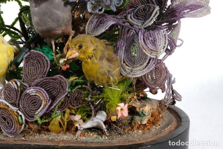 Antigüedades: Conjunto Pájaros disecados taxidermia siglo XIX - Foto 6 - 243865560