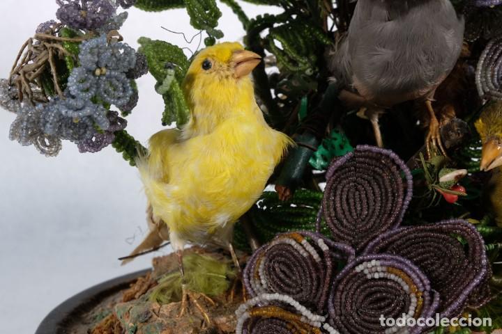 Antigüedades: Conjunto Pájaros disecados taxidermia siglo XIX - Foto 7 - 243865560