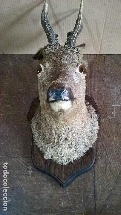 Antigüedades: Taxidermia Corzo macho - Foto 2 - 244989360