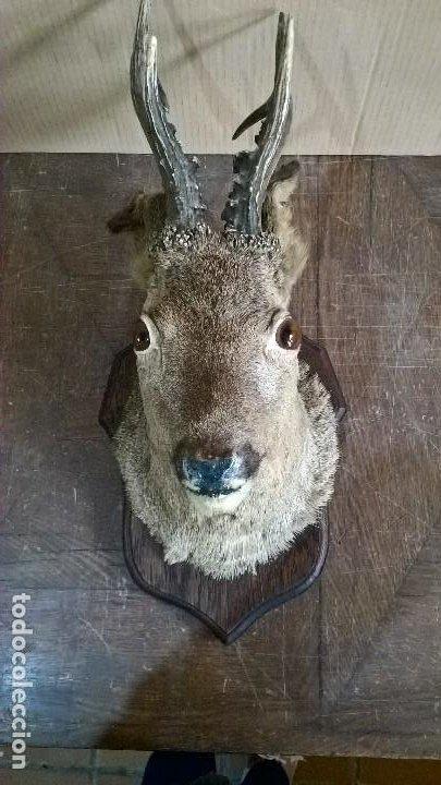 Antigüedades: Taxidermia Corzo macho - Foto 3 - 244989360