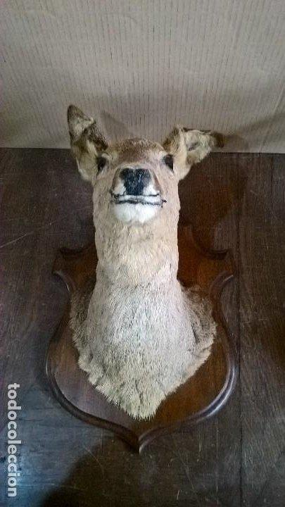 CORZO HEMBRA (Antigüedades - Hogar y Decoración - Trofeos de Caza Antiguos)