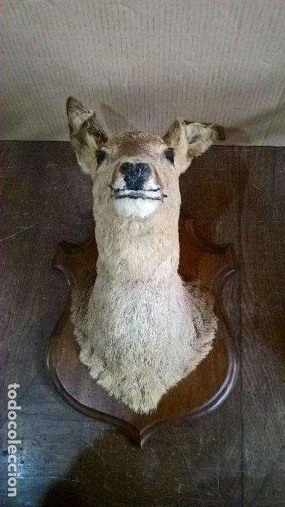Antigüedades: Corzo hembra - Foto 2 - 244991765