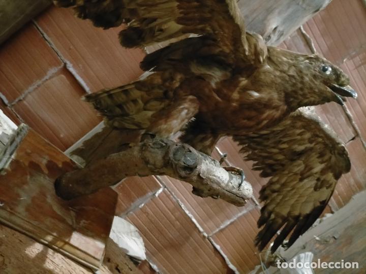 Antigüedades: Antigua aguila o halcón disecada taxidermia - Foto 10 - 241813335