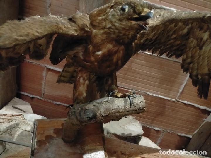 Antigüedades: Antigua aguila o halcón disecada taxidermia - Foto 12 - 241813335