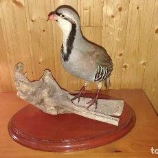 Antigüedades: PRECIOSA PERDIZ EN TRONCO - TAXIDERMINA. Lote 245967245