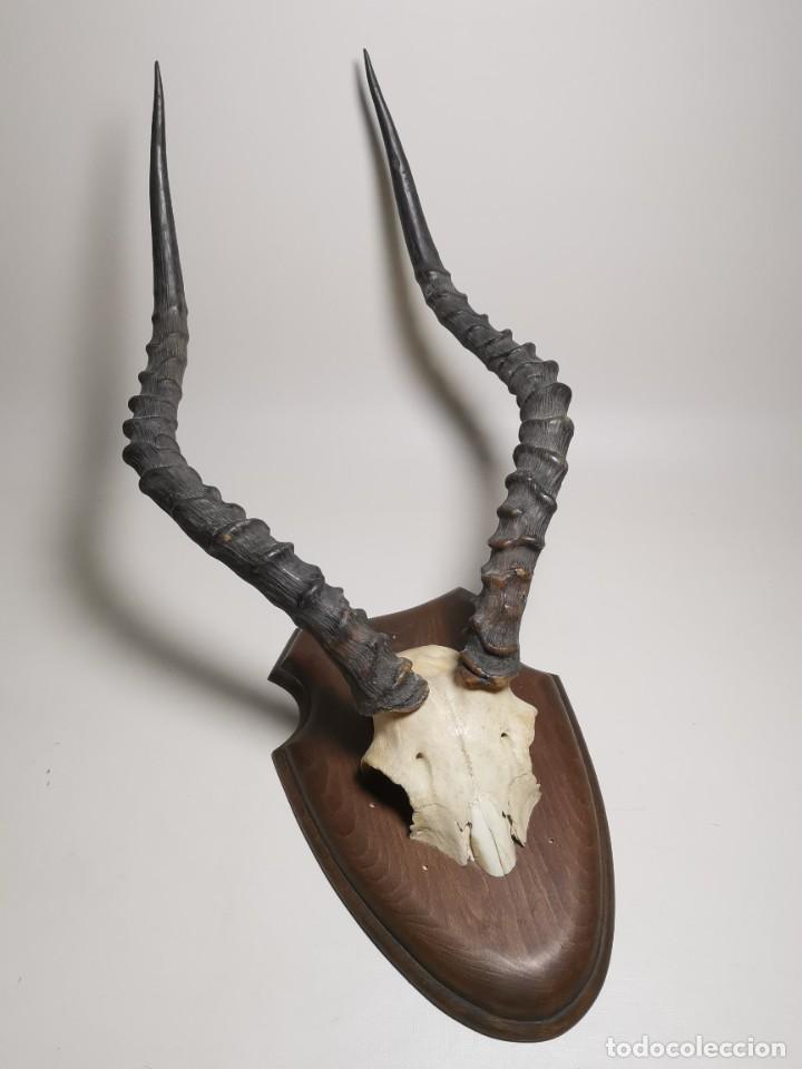 Antigüedades: ANTIGUO TROFEO CORNAMENTA DE IMPALA --AFRICA AÑOS 50 -REF-MO - Foto 2 - 248289725