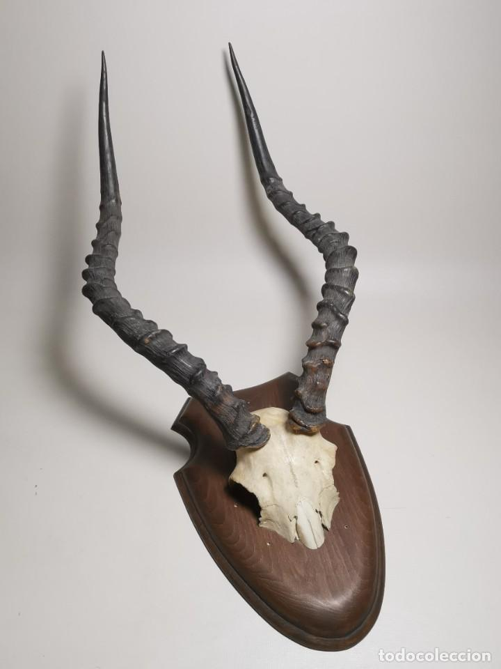Antigüedades: ANTIGUO TROFEO CORNAMENTA DE IMPALA --AFRICA AÑOS 50 -REF-MO - Foto 3 - 248289725