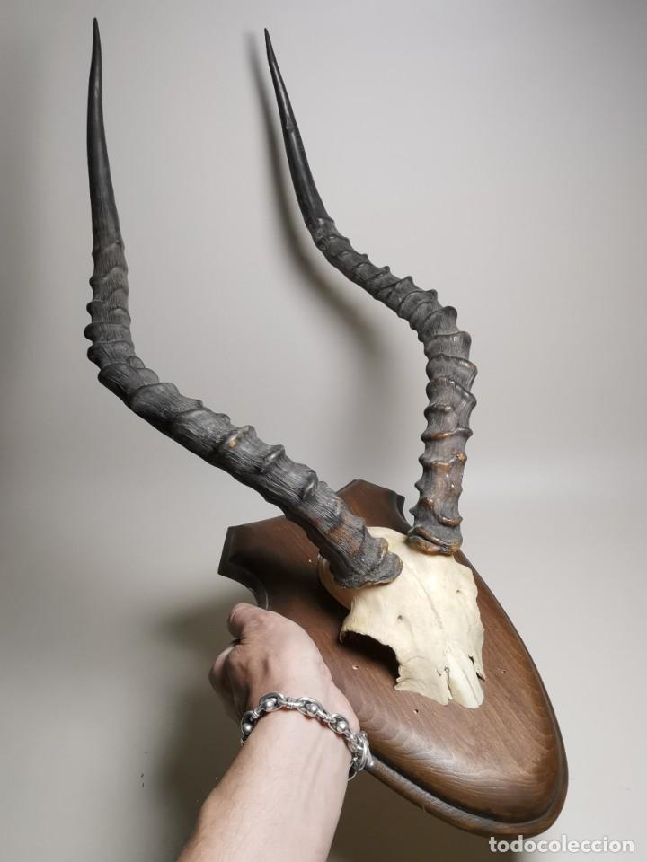 Antigüedades: ANTIGUO TROFEO CORNAMENTA DE IMPALA --AFRICA AÑOS 50 -REF-MO - Foto 4 - 248289725