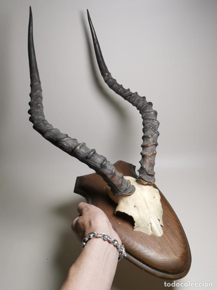 ANTIGUO TROFEO CORNAMENTA DE IMPALA --AFRICA AÑOS 50 -REF-MO (Antigüedades - Hogar y Decoración - Trofeos de Caza Antiguos)