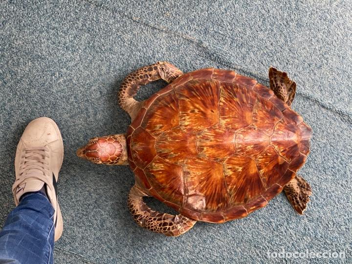 Antigüedades: Tortuga marina disecada Taxidermia - Foto 4 - 251962670