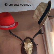 Antigüedades: CORNAMENTA DE CIERVO TROFEO DE CAZA. Lote 254225130