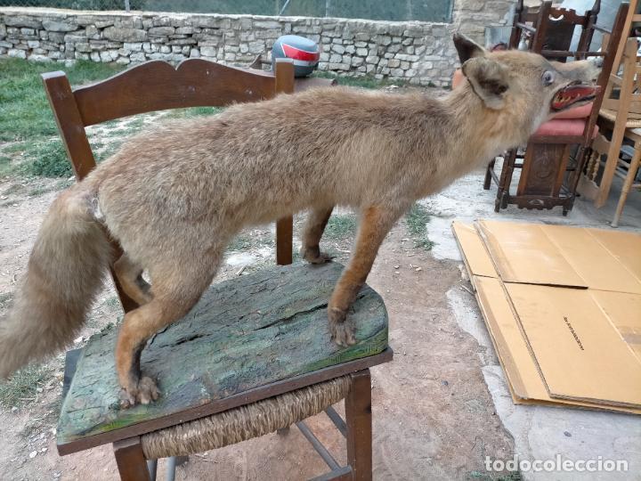Antigüedades: Antiguo zorro disecado taxidermia - Foto 3 - 241813595