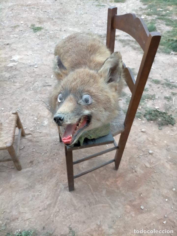 Antigüedades: Antiguo zorro disecado taxidermia - Foto 2 - 241813595