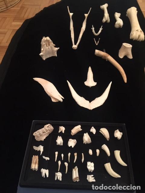 TAXIDERMIA. COLECCIÓN OSTEOLÓGICA DE HUESOS DIVERSOS (MANDÍBULAS, DIENTES, COLMILLOS, ASTA, FRONTAL (Antigüedades - Hogar y Decoración - Trofeos de Caza Antiguos)