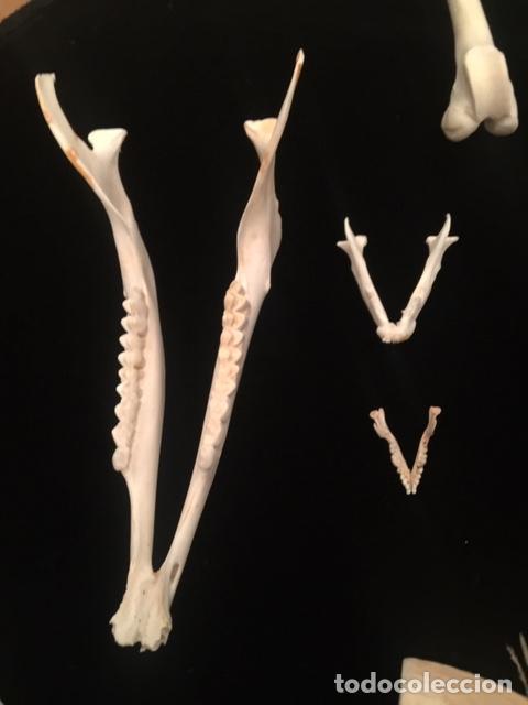 Antigüedades: Taxidermia. Colección osteológica de huesos diversos (Mandíbulas, dientes, colmillos, asta, frontal - Foto 5 - 254667060