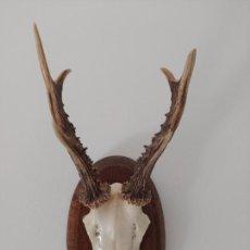 Antigüedades: TROFEO DE CORZO SOBRE PEANA DE MADERA. Lote 255552565