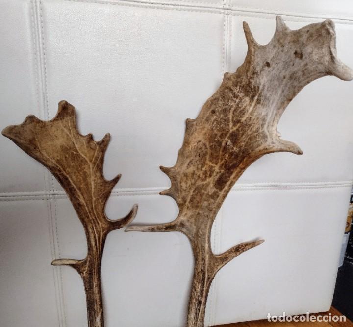 Antigüedades: Cuernos de gamo - Foto 2 - 255948175