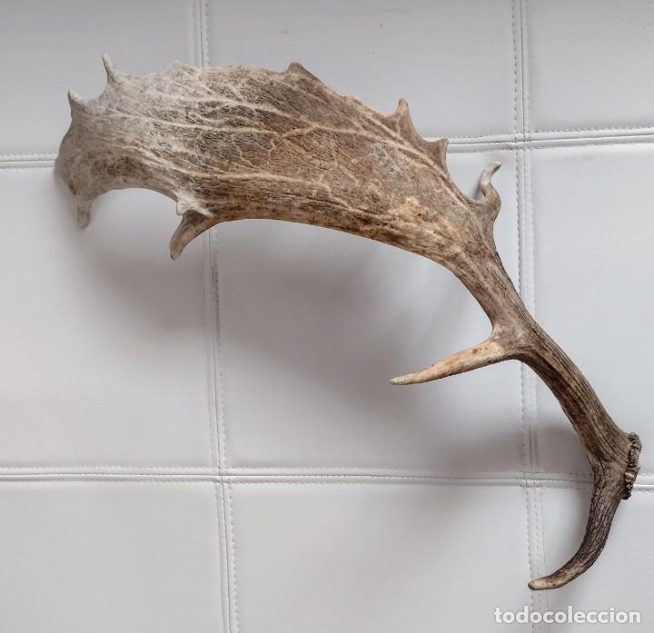 Antigüedades: Cuernos de gamo - Foto 3 - 255948175