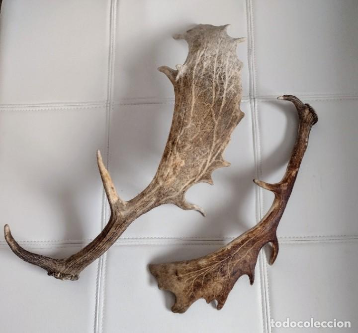 Antigüedades: Cuernos de gamo - Foto 6 - 255948175