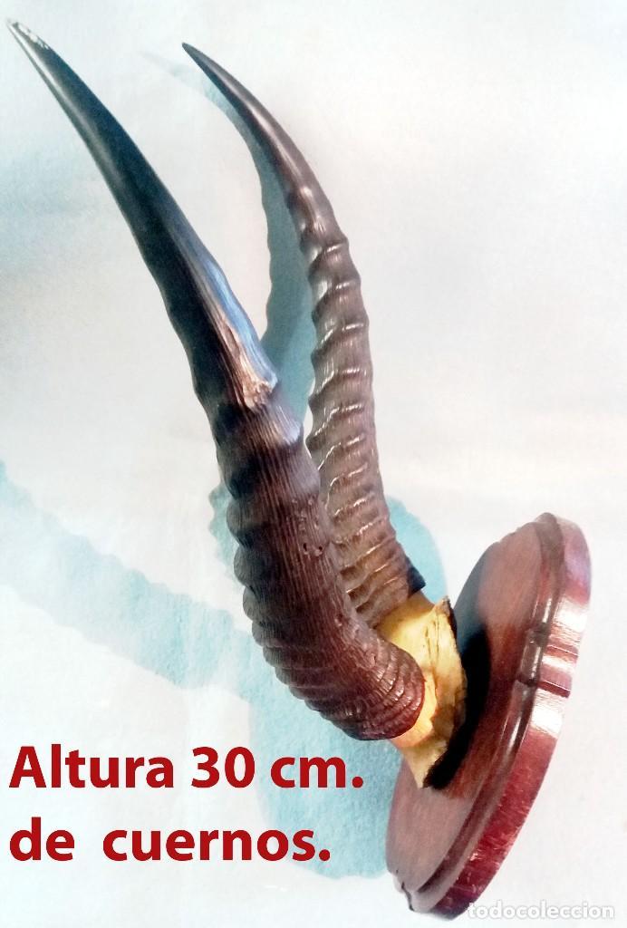 Antigüedades: CUERNO DE ANTILOPE DE HUNTER SOMALIA O KENIA. SOBRE PEANA DE PARED Med: total 43 x 33 cm. - Foto 3 - 262902485