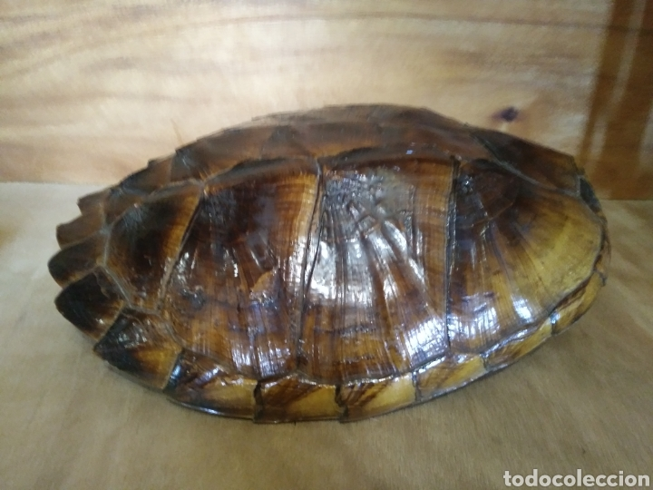 Antigüedades: Gran Caparazón de Tortuga - Foto 2 - 265496439