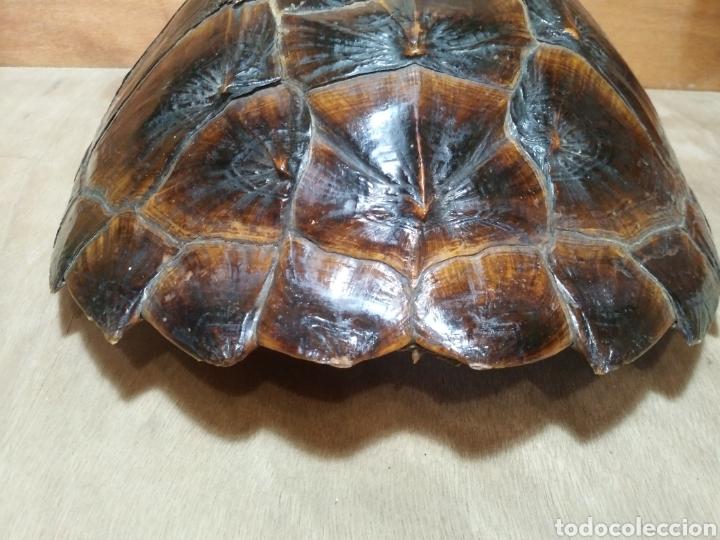 Antigüedades: Gran Caparazón de Tortuga - Foto 3 - 265496439