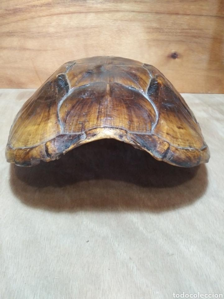 Antigüedades: Gran Caparazón de Tortuga - Foto 6 - 265496439