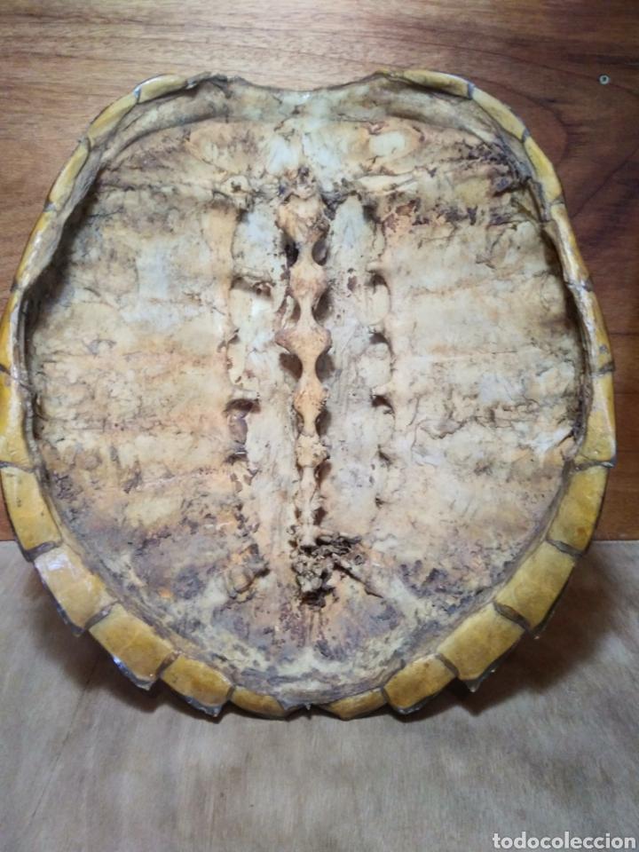 Antigüedades: Gran Caparazón de Tortuga - Foto 7 - 265496439