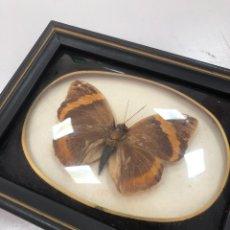 Antigüedades: ANTIGUA MARIPOSA DISECADA DE BRASIL 13 CM. Lote 267601869